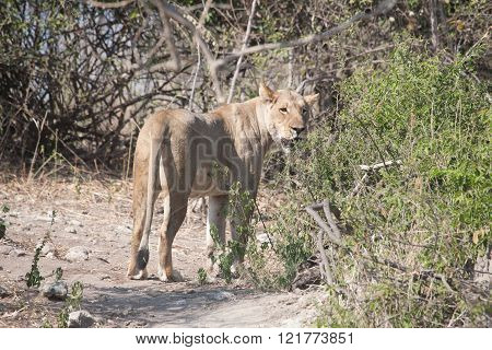 Lioness in Chobe National in park Botswana