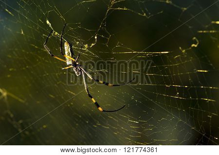 large golden orb spider sitting on its web in the golden afternoon light