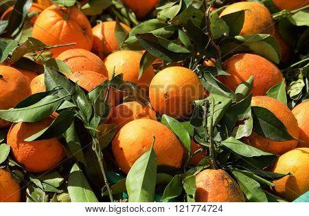 Fresh oranges background, maltese oranges, fresh fruits