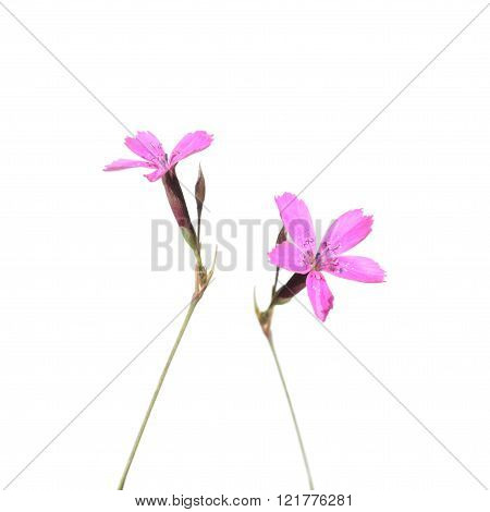 Wild Maiden Pink flowers isolated on white