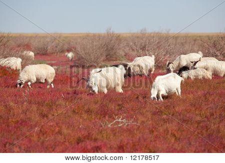 Sheep on the prairie