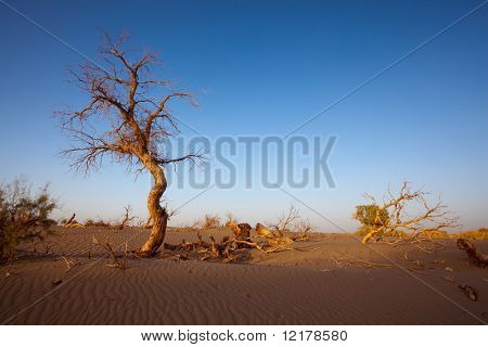 Populus dead in the desert
