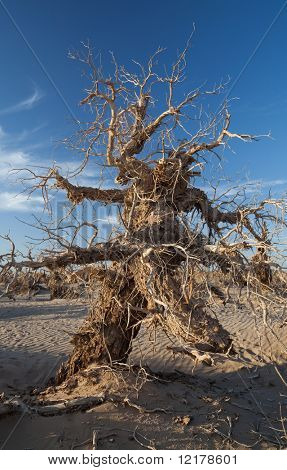 Populus dead in the desert