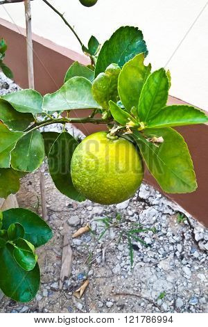 green lemon - lemon tree -limes - lime tree