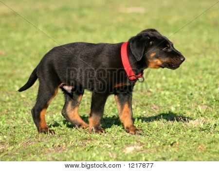 Puppy Upright