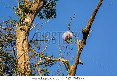 caracara over tree against moon