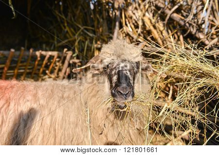 Sheep Isolated From Herd Eating Hay Inside A Sheep Farm
