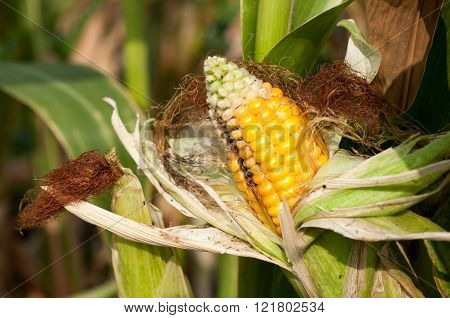Corn Field Damaged By Severe, Extended Drought And Diseases Of Plants