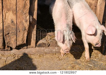 Two Young Piglet In Traditional Farm Come Together Out Of The Barn To Enjoy The Sun