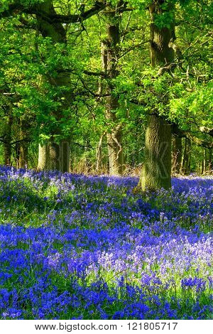 Dappled sunlight on the bluebells carpeting the floor of an English oak wood in Hertfordshire, at the end of April
