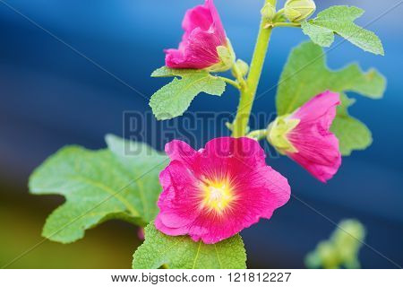 Bright purple mallow flowers on blue bokeh background. Hollyhock flowers. Shallow depth of field. Selective focus.