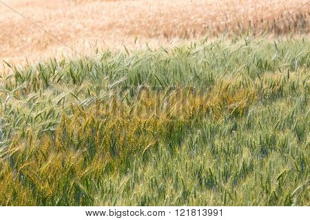 Colorful premature and mature wheat plant in the field