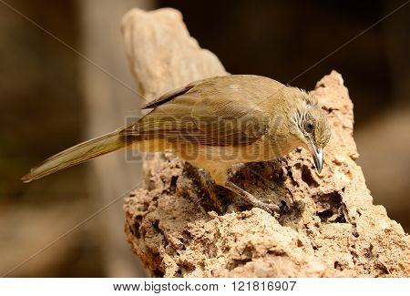beautiful Streak-eared  Bulbul (Pycnonotus blanfordi) standing on the log