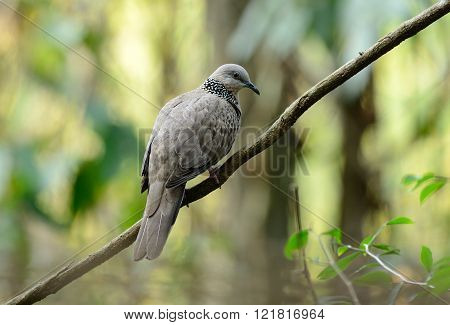 beautiful spotted dove possing on the branch