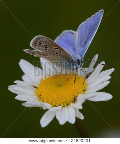 Common Blue on an Ox eye daisy