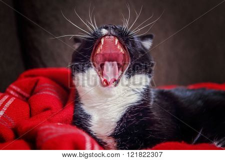 Black and White tuxedo cat  yawning, focus on nose and top teeth