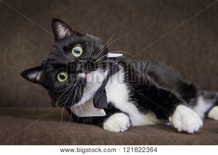 Black and White tuxedo cat wearing a bowtie