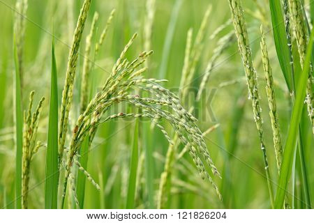 Young rice paddy seed (Oryza sativa/ Asian rice)  on paddy field