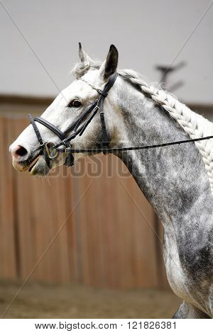 Side View Portrait Of Grey Horse With Nice Braided Mane
