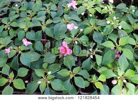 Impatiens flower garden seedlings for planting in the ground