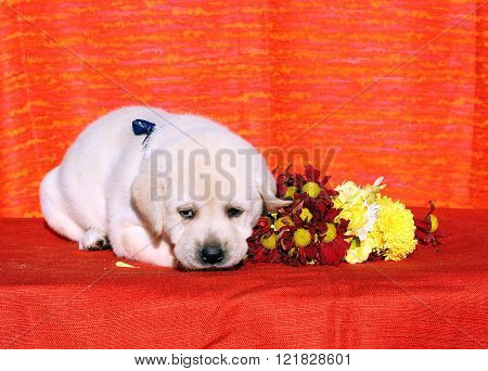 Labrador Puppy On The Orange Background