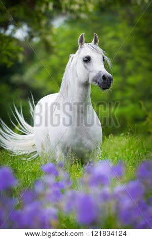 Arabian gray horse standing in forest