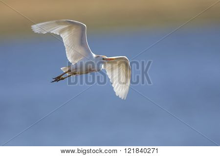 White Cattle Egret Fly Over Water To And At A Perch