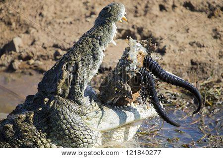 Big Crocodile Eats The Head Of Springbok With Horns