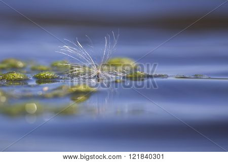Single Fluffy Dandelion Floating On Water Surface
