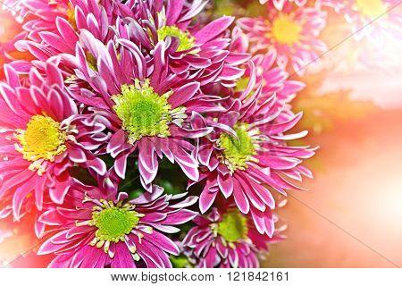 Flowering Branches Chrysanthemum. Beautiful Flowers