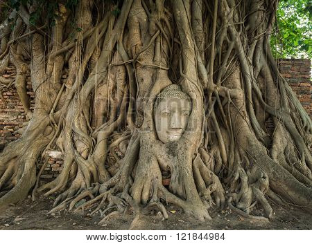 Stone head of Buddha nestled in the embrace of bodhi tree's roots at Wat Mahathat Ayutthaya Thailand World Heritage Site