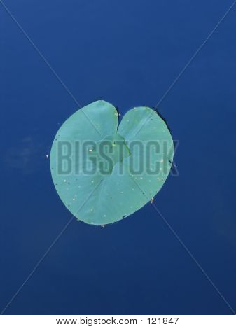 Hart Shaped Water-lily Leaf