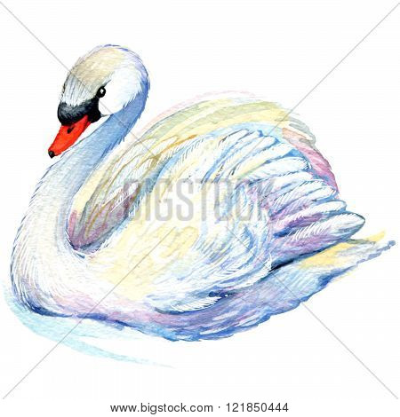 Swan. Swan Watercolor drawing