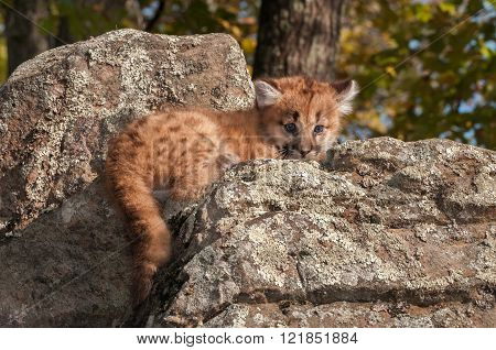 Female Cougar Kitten (puma Concolor) Lies On Rocks