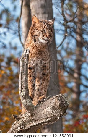 Bobcat (lynx Rufus) Looks Right From Above