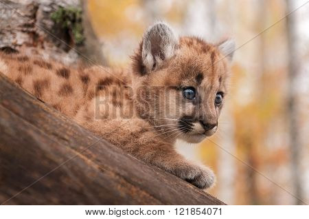 Female Cougar Kitten (puma Concolor) Gaze From Tree