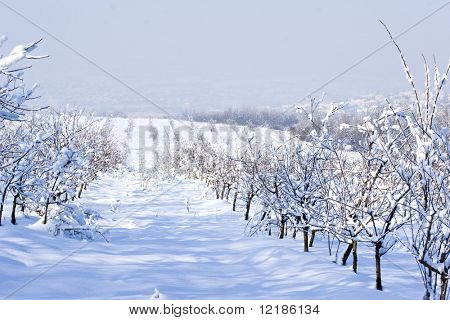 fruit orchard in winter covered in snow