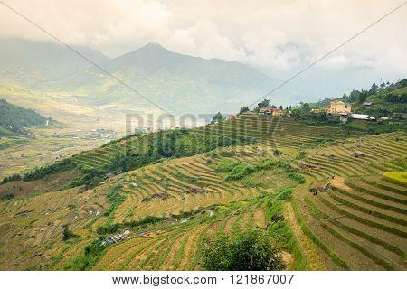 Beautiful terraced rice field in harvest season in Mu Cang Chai, Vietnam