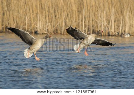 Two Greylag Goose