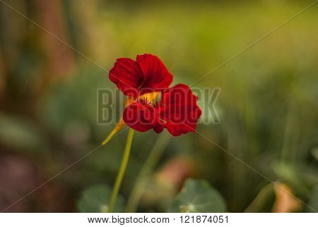 Small bright red flower on the simple blur background