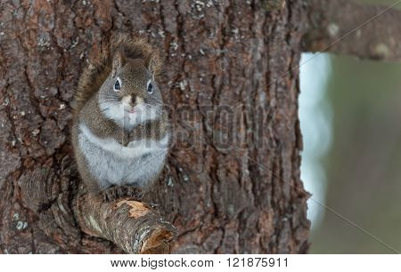 Endearing, springtime Red squirrel, close up,  looking at camera, sitting up on broken branch stump on a Northern Ontario pine tree, paws tucked to chest.