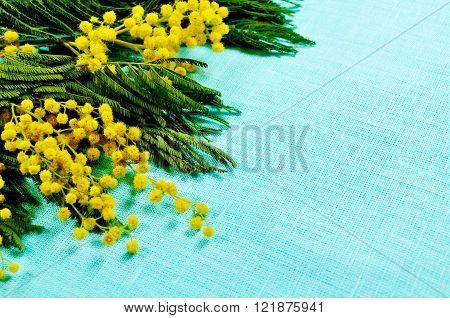 Bright yellow fluffy mimosa flowers on the turquoise linen tablecloth. Free space for text. Selective focus at the mimosa. Spring background.