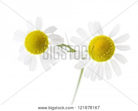 Two Chamomiles isolated on white background. Shallow depth of field.
