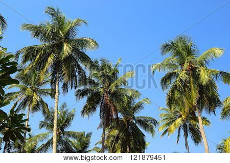 branches of coconut palms against blue sky