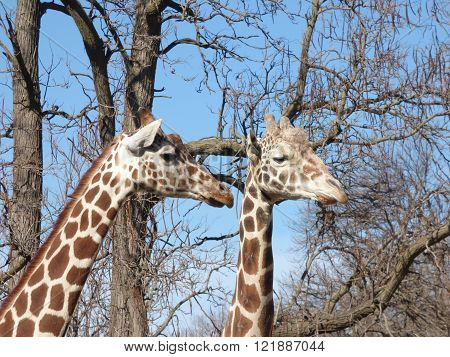 Two Giraffes seeing the world as only Giraffes would.