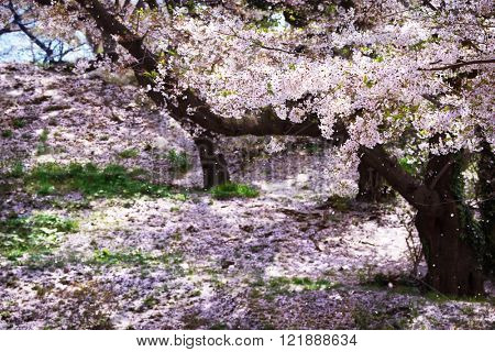 Cherry blossom in full bloom. Old cherry tree orchard, with ground covered with cherry flower petals.  Cherry blossoms flower petals falling in a spring breeze.