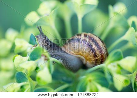 Garden Snail (Helix aspersa), on Spurge (Euphorbia characias) plant