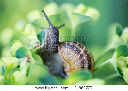 Garden Snail (Helix aspersa), on Spurge (Euphorbia characias) plant ** Note: Soft Focus at 100%, best at smaller sizes