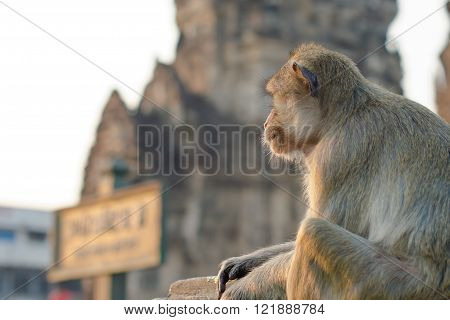 Long tailed monkey in Lopburi province Thailand