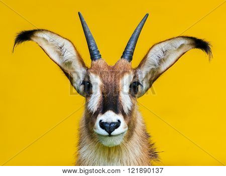 horned roan antelope portrait on yellow background